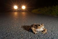 Kröte auf der Straße - Foto J. Fieber